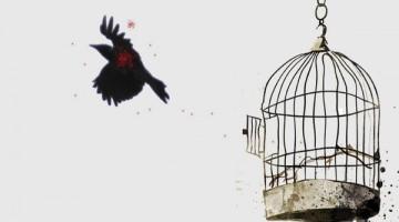 free crow