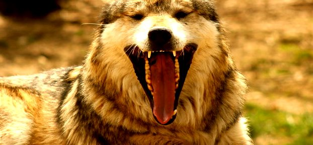 mexican_wolf_laughing