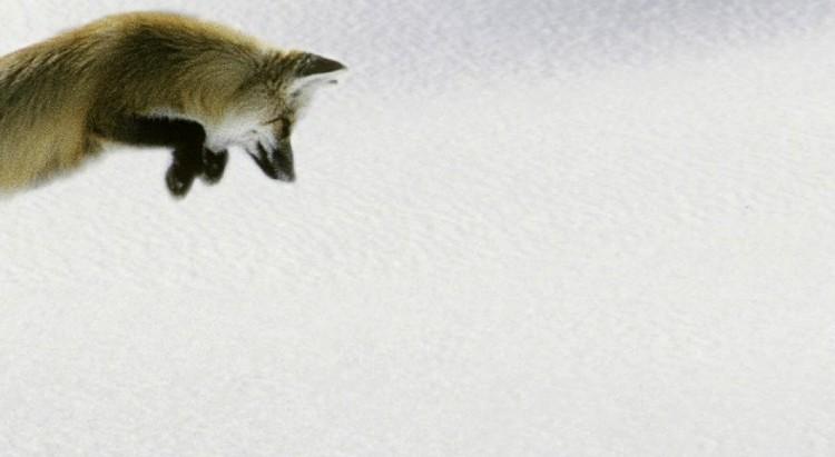 fox_jumping