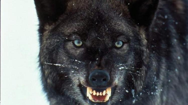 lupo-nero