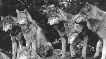 black-pack-white-wolves-Favim.com-166885