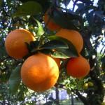 giardino-arance-dal-vivo-vi[1]