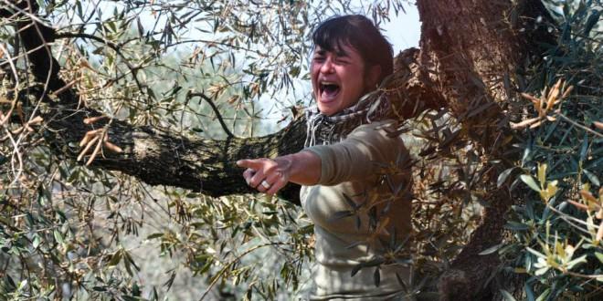 Xylella in Puglia: terremoto giudiziario, sequestrati ulivi, bloccate le eradicazioni